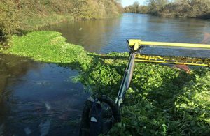 The Environment Agency has been removing floating pennywort, an invasive species, from rivers