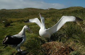 A pair of wandering albatrosses on South Georgia (Credit: Richard Phillips/British Antarctic Survey)