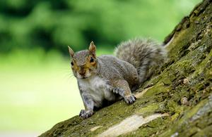 A grey squirrel on a tree