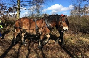 Ghalm, the 8 year old North Swedish Forest Horse