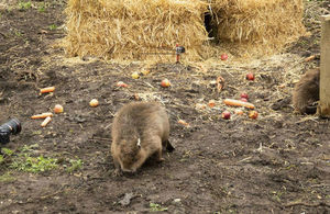 Beavers arrive in Essex
