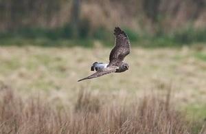 Image of a brown he harrier flying across a field