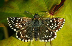 A Grizzled Skipper butterfly sitting on a leaf. Photograph taken by Steve R Jellett