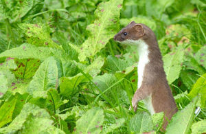 A stoat in a field of crops. Photo credit: Getty Images