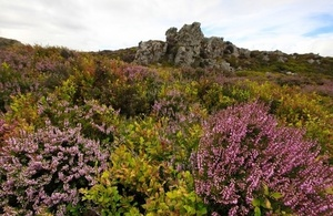 Purple healthland and green grass