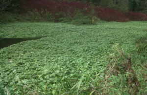 Floating Pennywort growth across a waterway