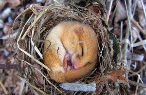 A hazel dormouse sleeping in a nest.