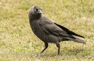 A jackdaw on grass