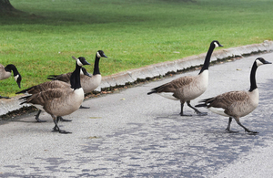 Canada geese crossing a road