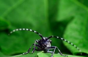 An Asian longhorn beetle on a leaf.