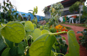 Biofortified crops, developed by scientific research supported by UK aid, on display in the gold medal-winning CAMFED garden at the 2019 Chelsea Flower Show