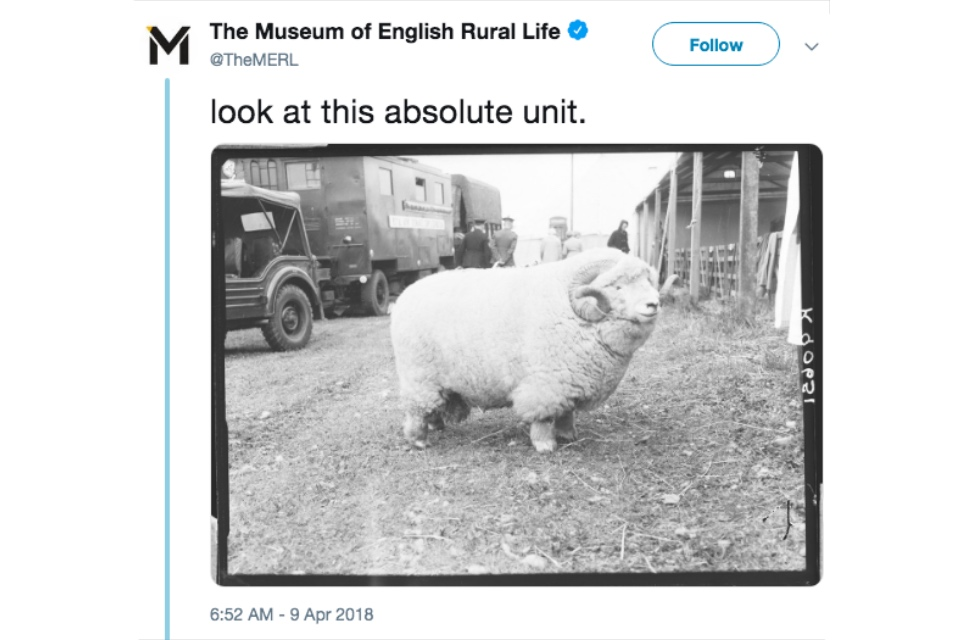 Tweet from the Museum of English Rural Life of an archival photograph of an Exmoor Horn aged ram, captioned 'look at this absolute unit'