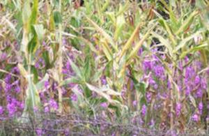 Striga infested maize farm in western Kenya.