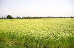 Ashoka rice thrives in an upland field in Jharkhand, India.