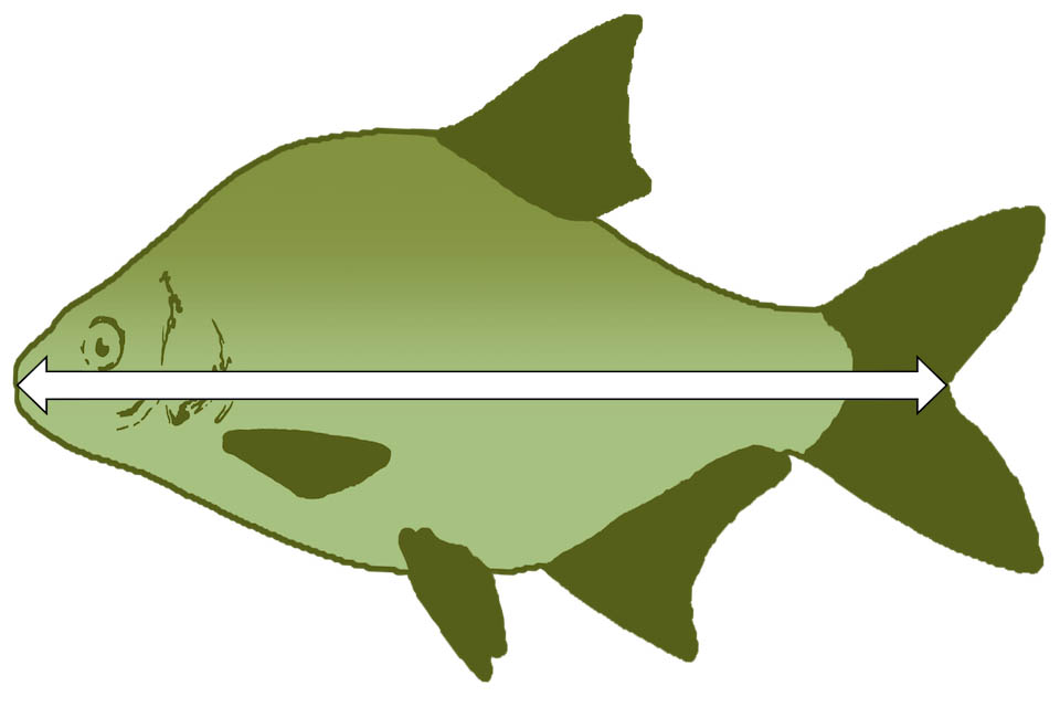 Picture of an animated fish with a arrow to indicate how a fish should be measured