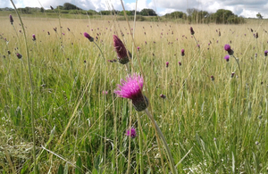 Image of wildflower thistle on a moorland site