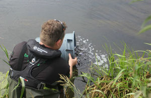 An Environment Agency fisheries officer releases small fish from a bucket into a river