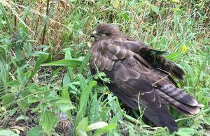 The injured buzzard