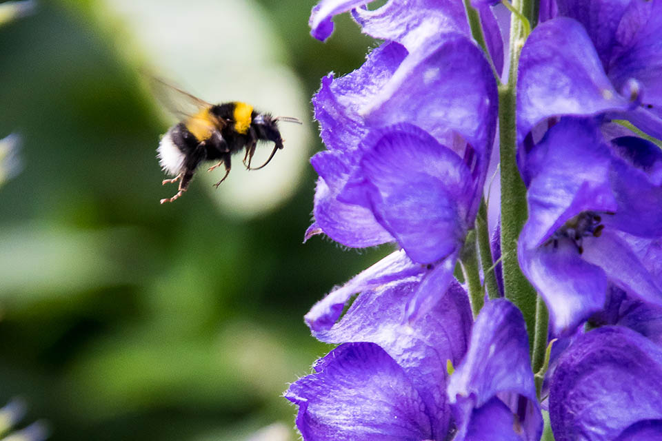Bee flying near a purple flower