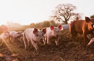 Herd of pigs walking in mud