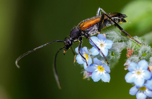Black-striped longhorn beetle (Stenurella melanura) on a blue flower