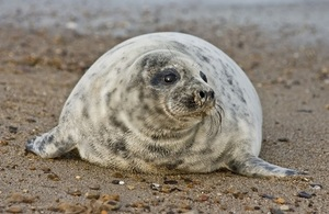 Harbour seal on shore