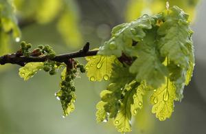 A branch of an oak tree