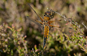 A 4 spot chaser dragonfly in the wild