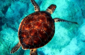 Turtle swimming in ocean.