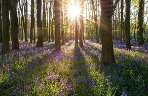 A picture of a number of tree trunks with bluebells forwing beneath them
