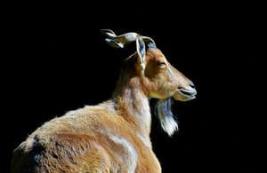 A picture of a Markhor