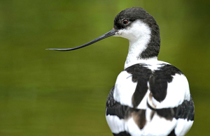 Natural England image of a Pied Avocet bird in Norfolk