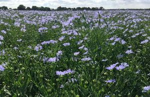 Linseed crop