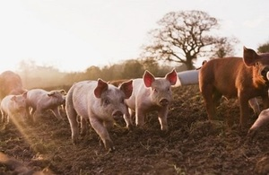 Pigs running about in mud field at dawn