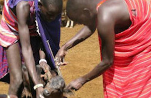 Maasai herdsmen vaccinating their cattle.