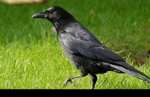 Carrion crow. Credit: Bernard Dupont