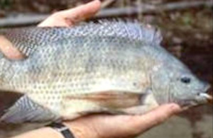 Genetically improved tilapia.