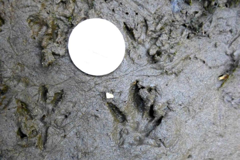 Water vole prints