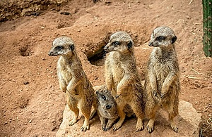 A family of 4 meerkats