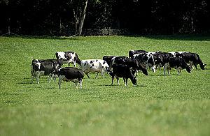 Dairy farmers grazing in a field