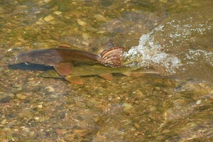 Barbel spawning in a river
