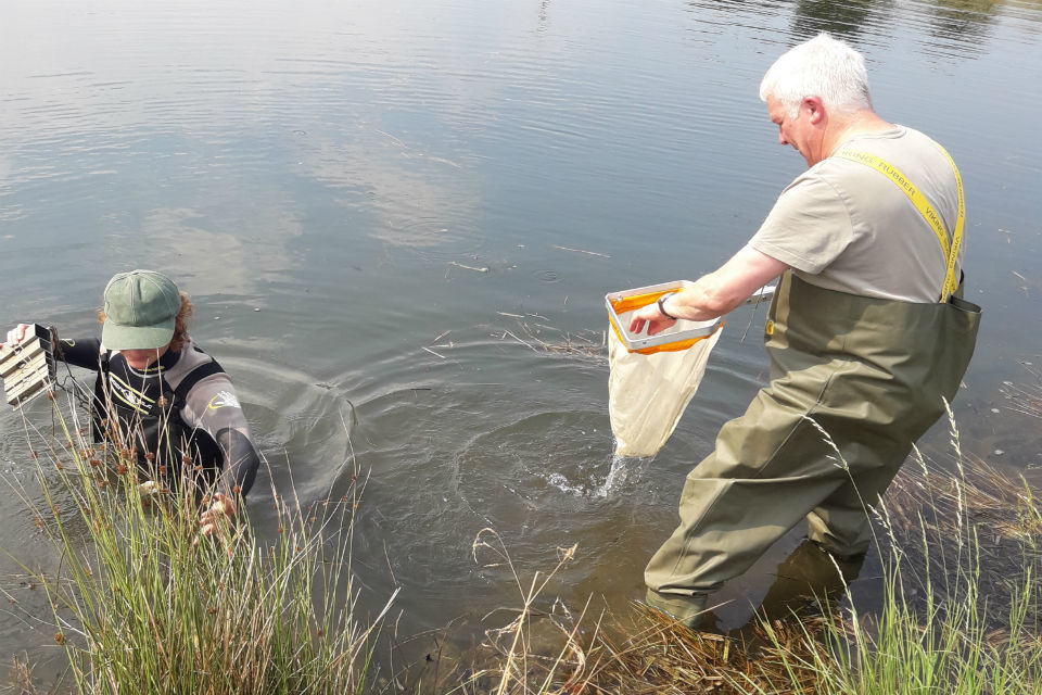 Two Environment Agency officers in a river collecting crayfish