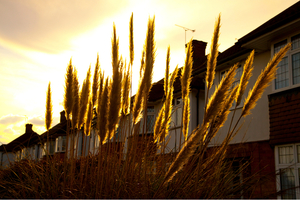A row of suburban homes behind a screen of tall grasses.