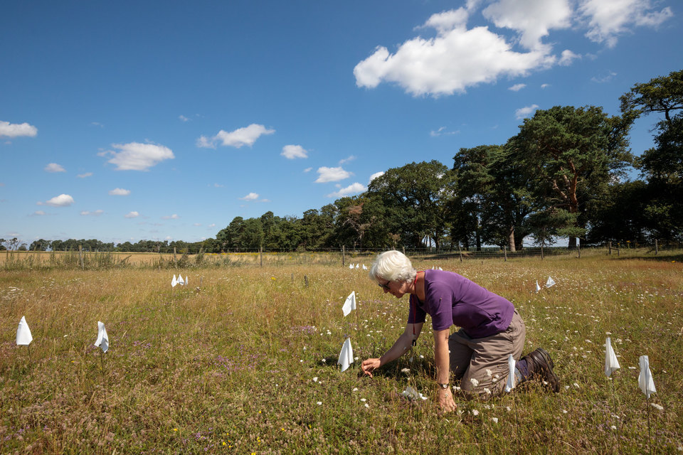 A woman plants little white flags on her knees where she has found plants in an open landscape of short green-yellow grass.